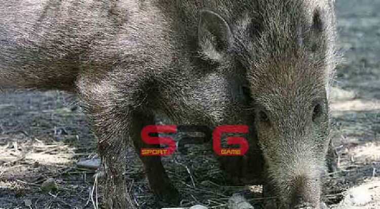 Peste Suina Africana (psa)